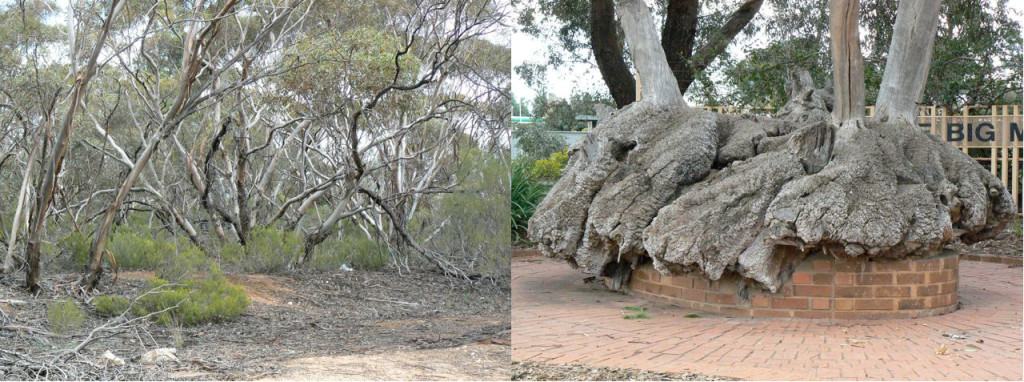 Mallee Scrub and Roots. The bulk of the tree is its large roots.